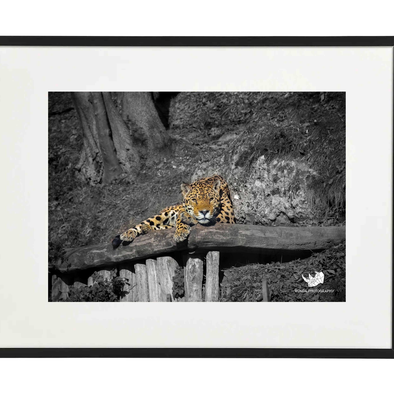 Jaguar, Animal Wildlife